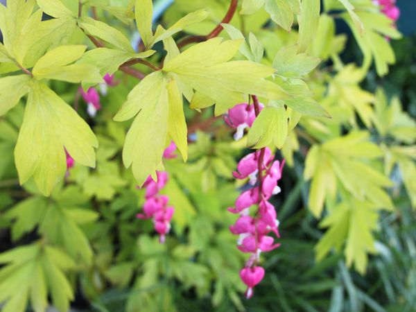 dicentra gold heart