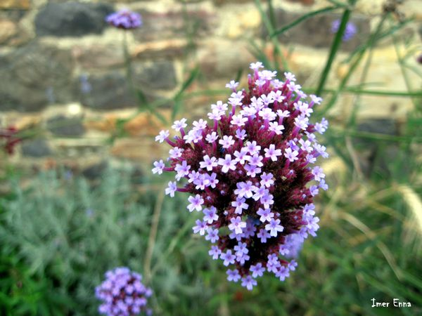 Fleurs-4114---Copie.JPG