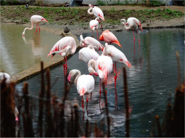flamant-roses-zoo-de-paris.jpg