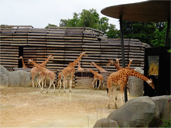 girafes-zoo-de-paris.jpg