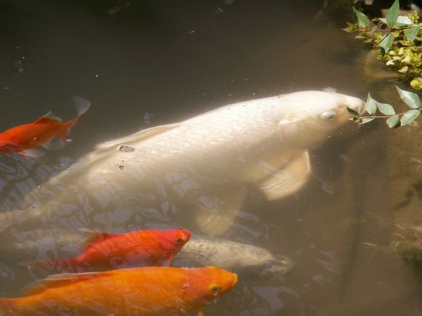 Poissons mes carpes koi lejardinleclosfleuridansladr for Oeuf carpe koi