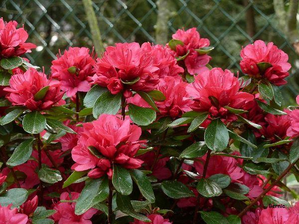 Azalée Hino Crimson