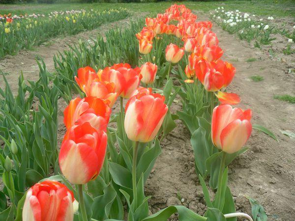 tulipe-013