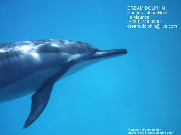 dauphin-dream-dolphin.jpg