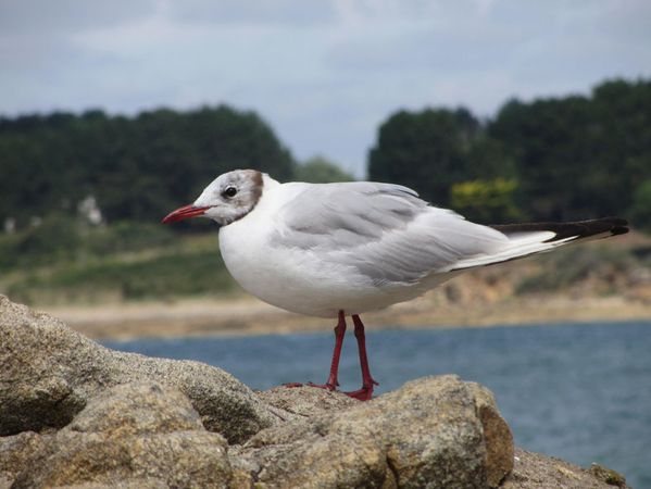 mouette-rieuse.jpg