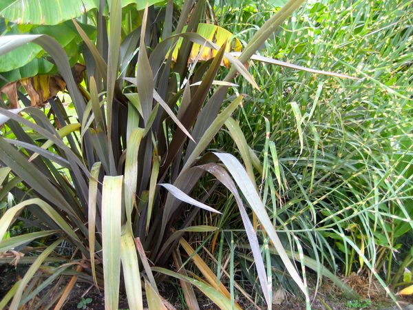 phormium yucca cordyline le blog des plantes exotiques rustiques. Black Bedroom Furniture Sets. Home Design Ideas