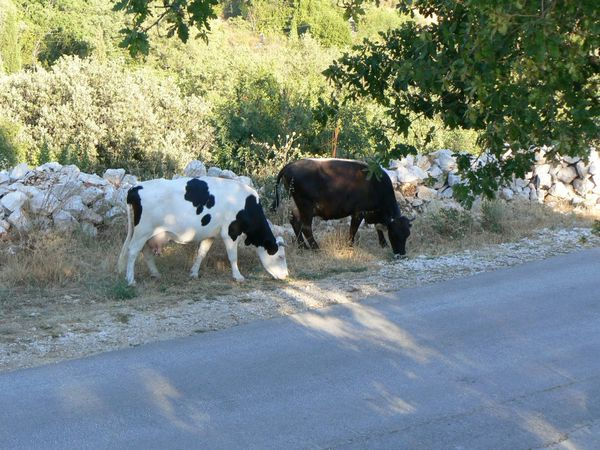 2013-08-14-3-Vaches