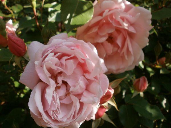 Cerises fleurs et cuisine fin mai 2012 053