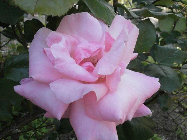 Roses 13 mai 2012 044