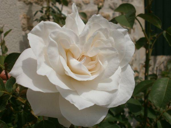 Roses 17 mai 2012 011