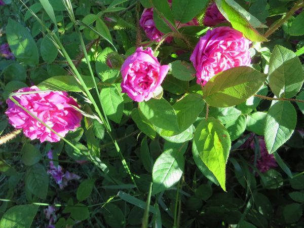 jardin-roses-du-22-mai-2014-121.JPG