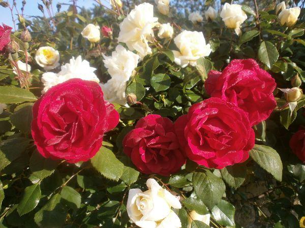 roses-et-sortie-fete-des-meres-007.JPG