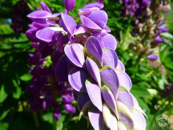 LUPIN-VIOLET-3--1600x1200-.jpg
