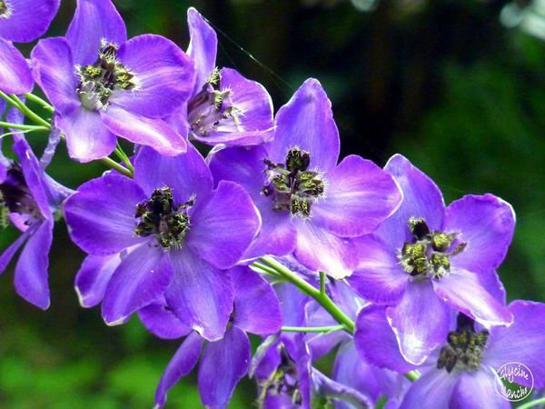 delphinium-black-knight--1600x1200--copie-1.jpg