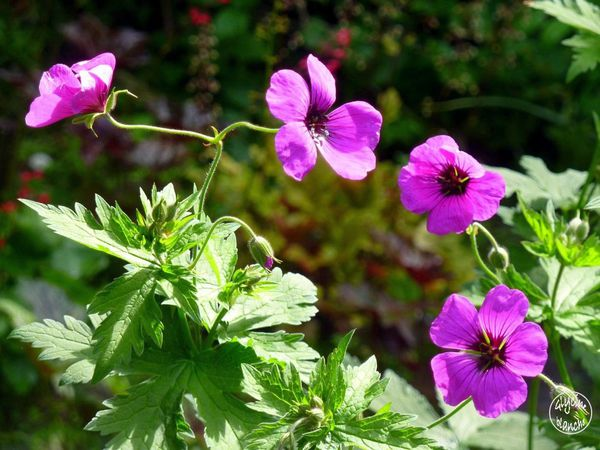 geraniums-vivaces-1--1600x1200-.jpg