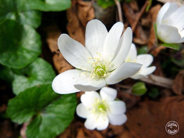 anemone-des-bois-ou-nemorosa--1600x1200-.jpg