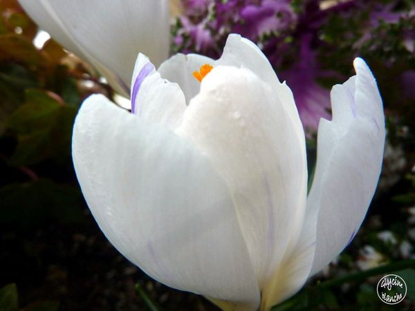 crocus-blanc-2--1600x1200-.jpg