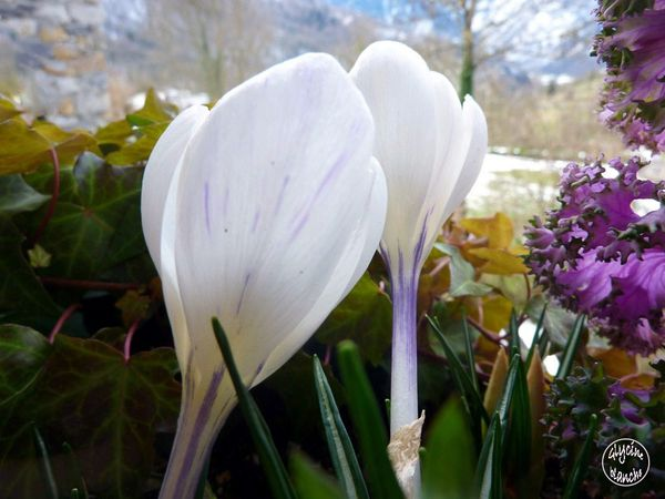 crocus-blanc-3--1600x1200-.jpg