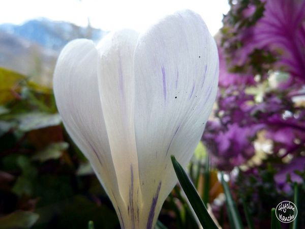 crocus-blanc-4--1600x1200-.jpg