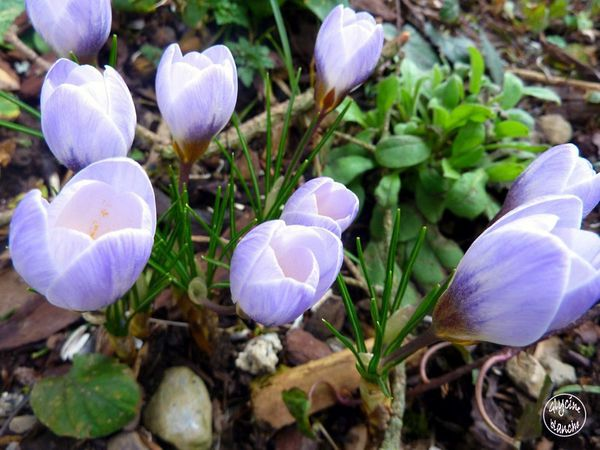 crocus-blue-pearl-2--1600x1200--copie-1.jpg