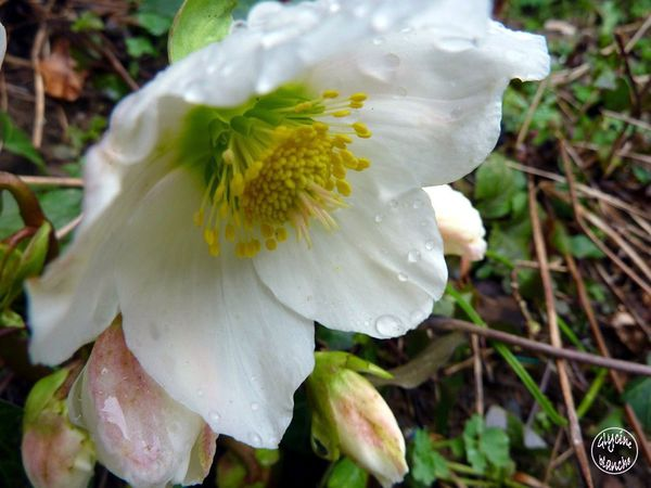 hellebore-niger--1600x1200-.jpg