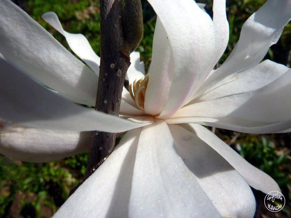magnolia-stellata-royal-star-14--1600x1200-.jpg