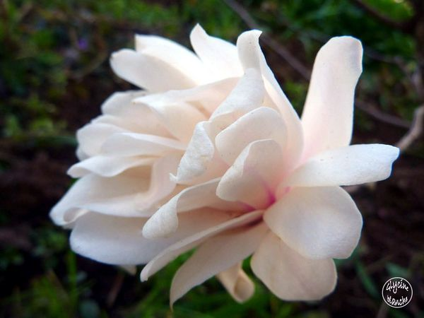 magnolia-stellata-royal-star2--1600x1200-.jpg