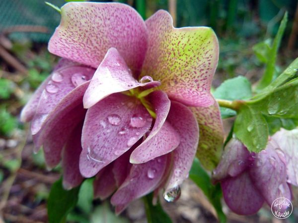 HELLEBORE-ORIENTALE-DOUBLE-1--1600x1200-.jpg