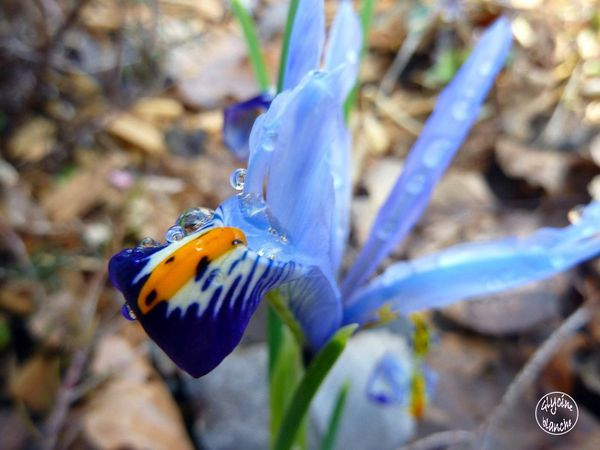 IRIS-RETICULATA-2--1600x1200-.jpg