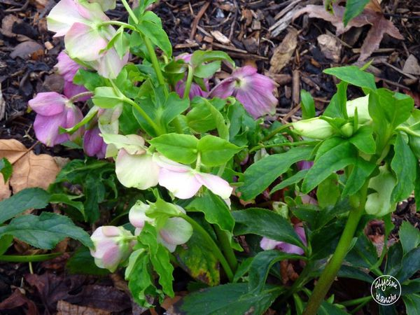 HELLEBORES-5--1600x1200-.jpg