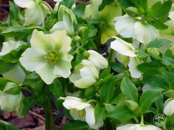 HELLEBORES-6--1600x1200-.jpg