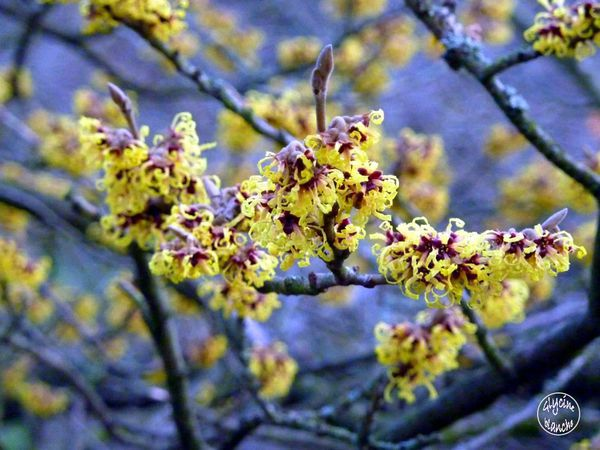 HAMAMELIS-3--1600x1200-.jpg