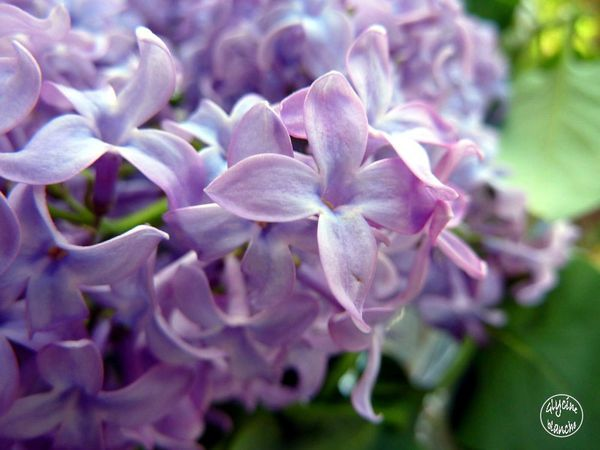 LILAS-2--1600x1200-.jpg