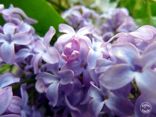 LILAS-3--1600x1200-.jpg