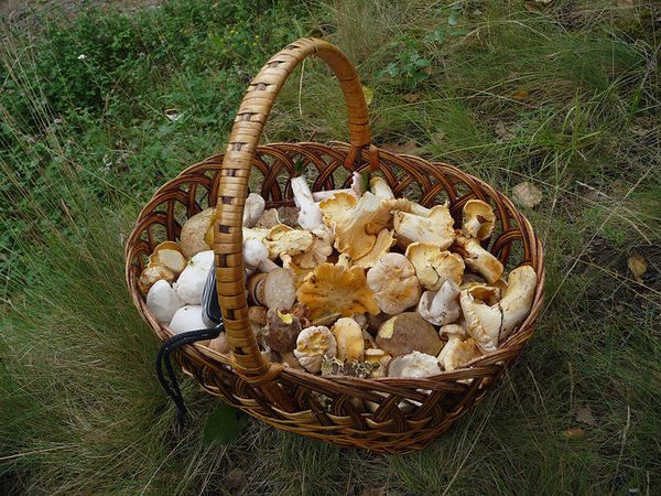 800px-Edible_fungi_in_basket_2009_G1.jpg