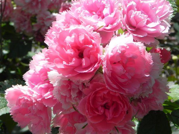 juillet 2012 reine des prés et fleurs 008