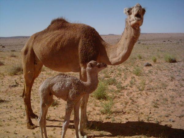 Maman--c-est-loin-l-oasis-.tais-toi-et-marche.jpg