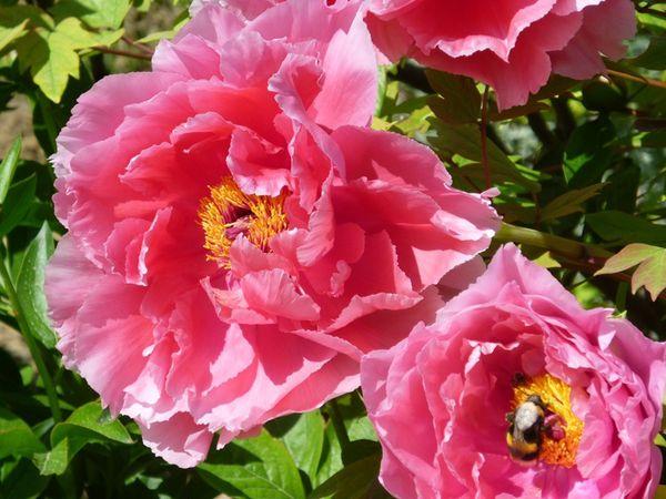 Paeonia-suffruticosa--Louise-Mouchelet-.JPG