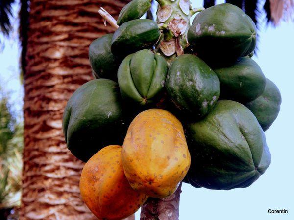 y03 - Papaye