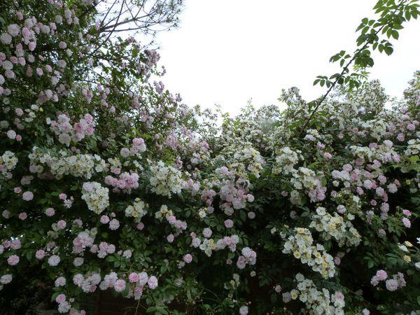 jardins-d-auger---mai-2014---chez-daniel---rosier-liane-pau.jpg