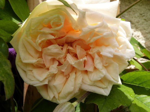 rosier grimpant versigny - gros plan sur la fleur