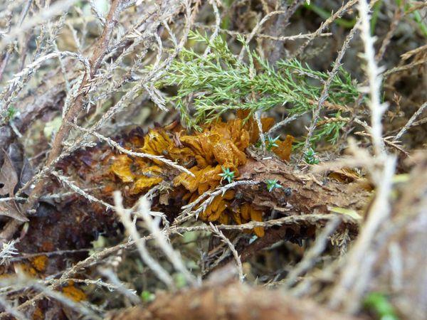 gymnosporangia-sabinae-sur-juniperus.jpg