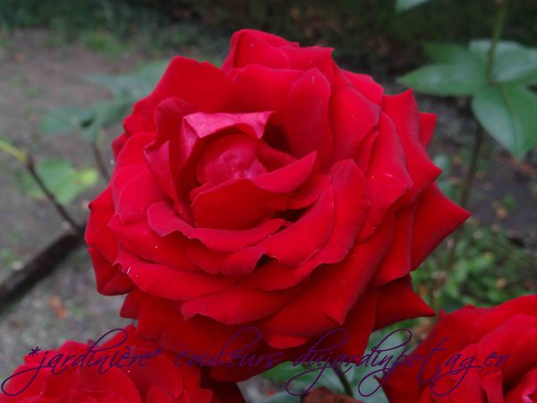 rose-rouge-de-pres-copie-1.jpg