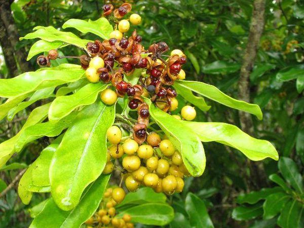 Rodrigues-6650Bois-becassePittosporum-balfouriii.JPG