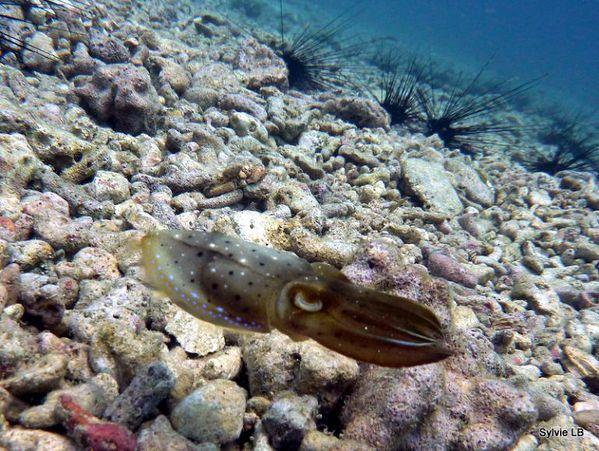 Sepia-bebe-Seiche-Cephalopode-05