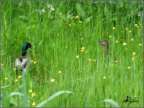Canards--rencontre.jpg