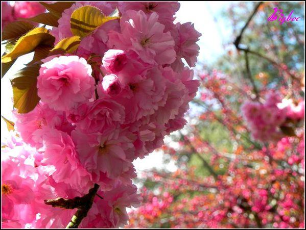 Cerisier-japonais-2---avril-2012.jpg