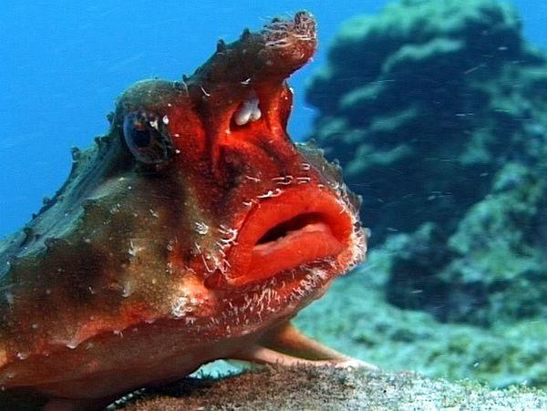 Ils sont moches les poissons journal de d sinformation - Poisson moche ...