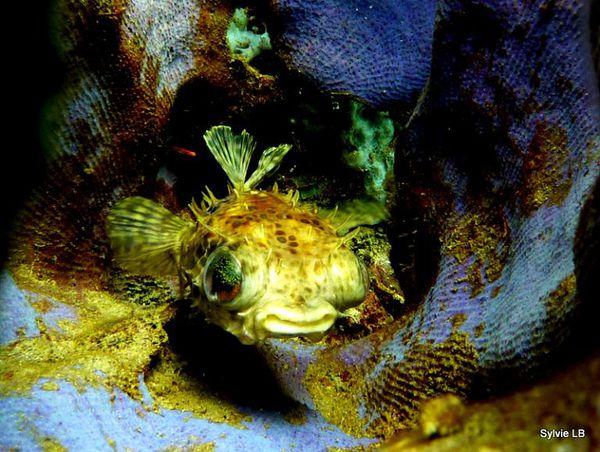Diodon-Cyclichthys-orbicularis-poisson-porc-epic01