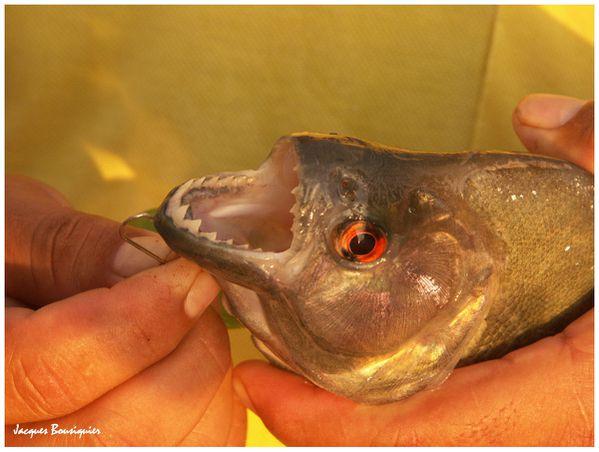 Amazonie piranhas 1